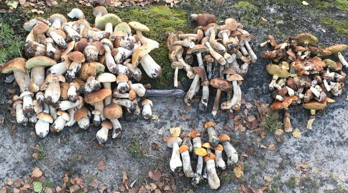 Белые грибы, подберезовики, подосиновики и маслята.. Белый гриб, Грибы, Грибы осень, Осенние листья, Ночной сбор грибов, Грибы 2018