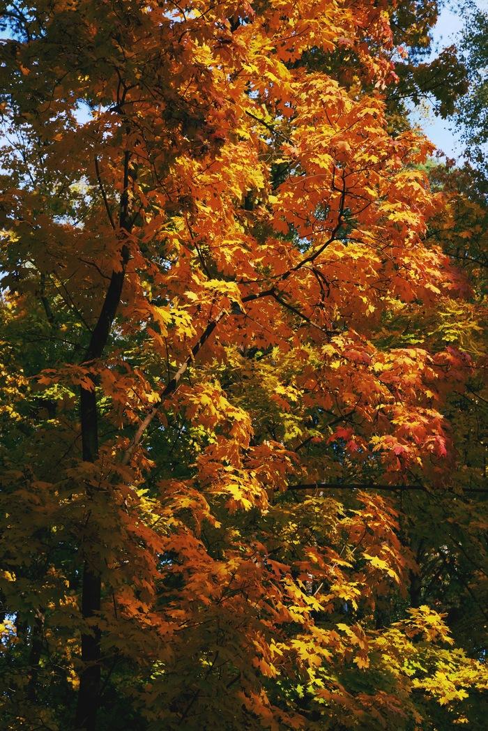 Осенью клены особенно хороши