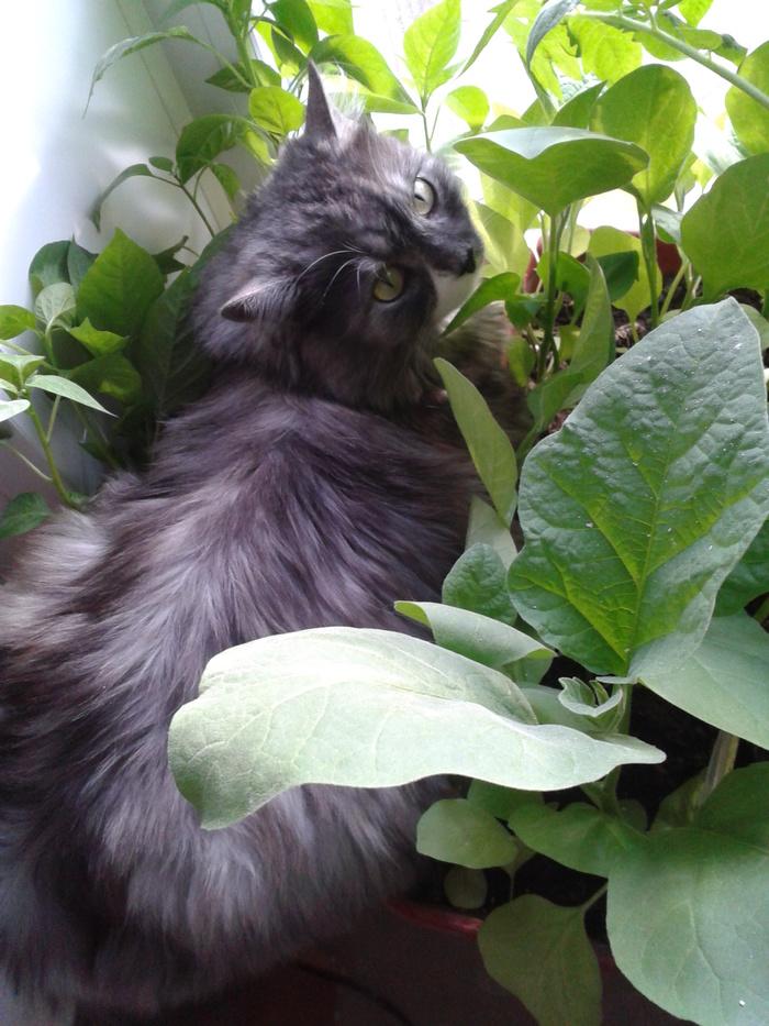 Кот, который высиживает рассаду. Кот, Рассада, Ящик, Земля, Дача, Длиннопост