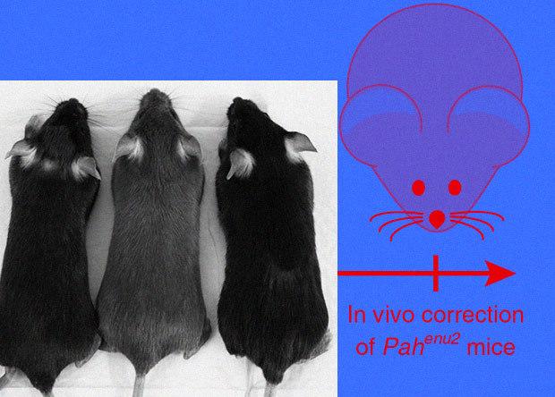 Разделенный пополам CRISPR-редактор вылечил мышей от фенилкетонурии Наука, Новости, Медицина, Генетика, Биология, Редактирование геномов, Crispr-Cas9