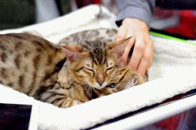 Котовыставка котопродажа КошарикиШоу Породы кошек, Выставка кошек, Сокольники, Сфинкс, Бенгальская кошка, Гифка, Длиннопост, Кот