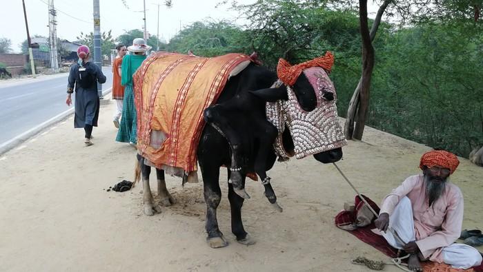 Корова-мутант Индия, Индусы, Путешествия, Туризм, Животные, Корова