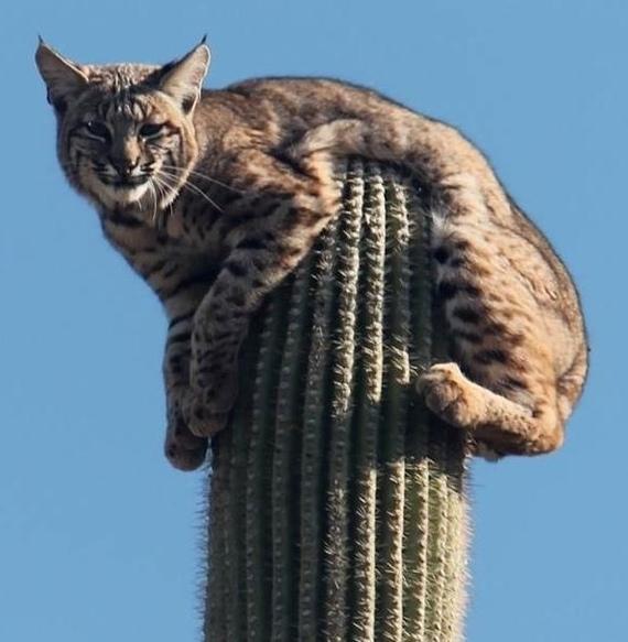 Рыси настолько суровые, что комфортно отдыхают сидя на кактусе Рысь, Семейство кошачьих, Кактус, Аризона, Длиннопост
