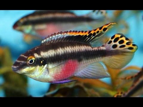 Знакомьтесь-Карликовые попугайчики Аквариумные рыбки, Пельвикахромис пульхер, Карликовые попугайчики, Длиннопост