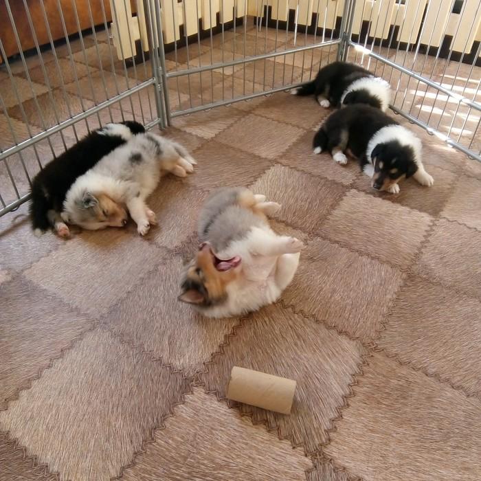 ...продолжу) Колли, Собака, Домашние животные, Собачьи будни, Щенки, Длиннопост