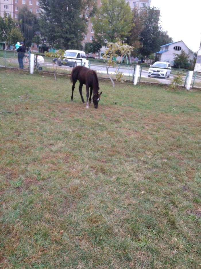 Немного о лошадях Лошадь Пржевальского, Инф