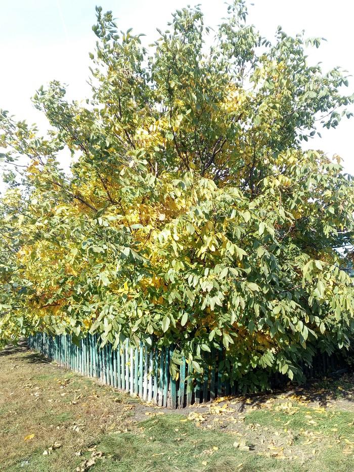 История о том, какие в Центральном Черноземье могут грецкие орехи вырасти Орехи, Дерево, Пересадка, Саженцы, Урожай, Смауг, Длиннопост