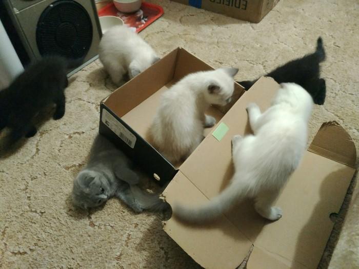 Как поймать кота?! Шотландская вислоухая, Шотландская прямоухая, Кот, Коробка, Ловушка для кота, Фотография