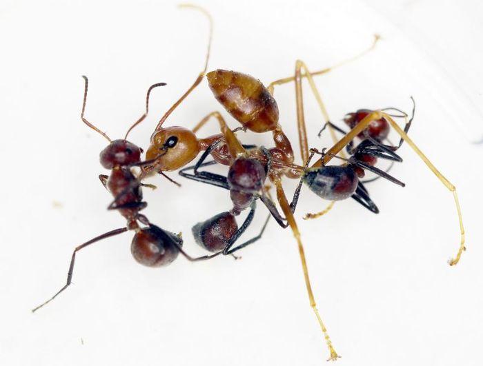 Хочу все знать! Обнаружен новый вид «взрывающихся муравьев» Хочу все знать, Муравьи, Природа, Интересное, Видео, Длиннопост