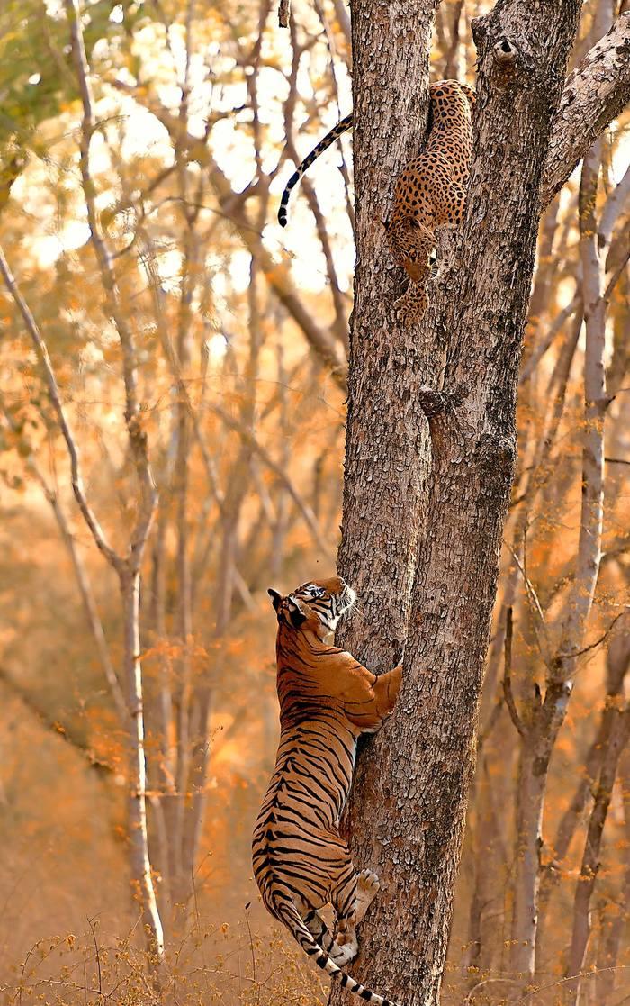Тигр пытается поймать леопарда