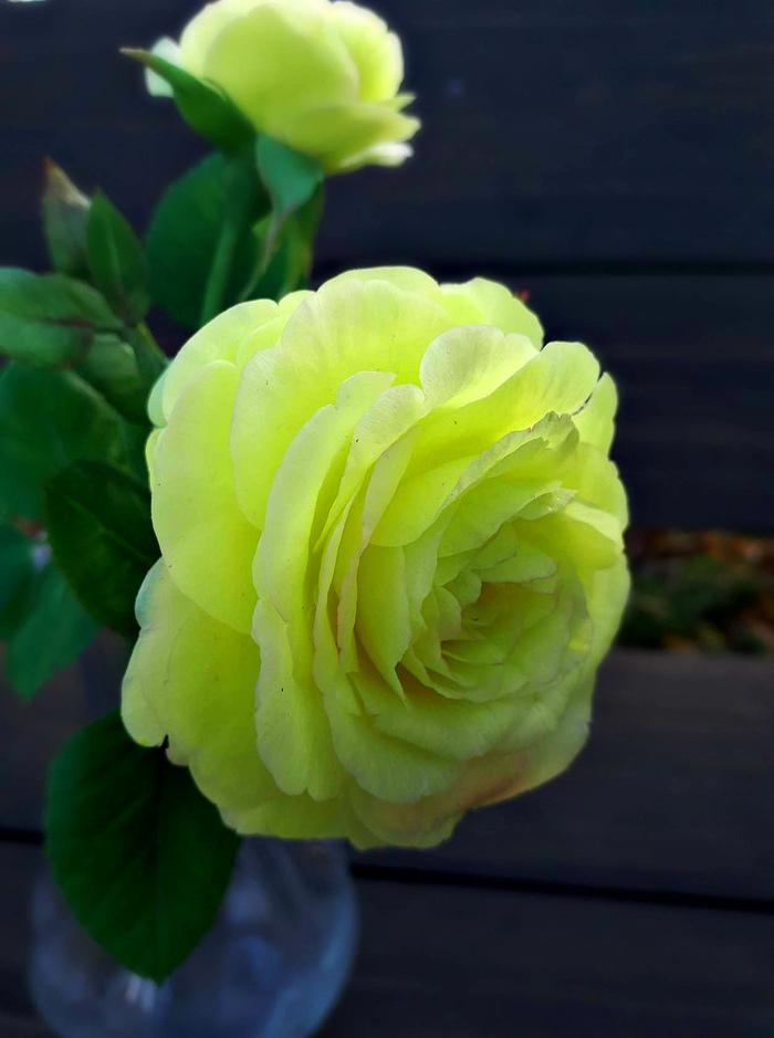Желтые розы.Полимерная глина. Рукоделие без процесса, Цветы, Полимерная глина, Холодный фарфор, Ручная работа, Длиннопост