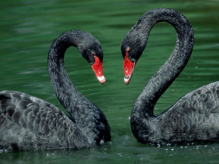 Чёрный лебедь | Обладатель самого длинного... Дикий Край, Животные, Природа, Интересное, Длиннопост, Птицы, Орнитология