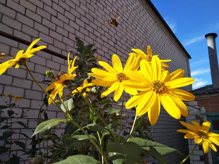Топинамбур в цвету Осень, Топинамбур
