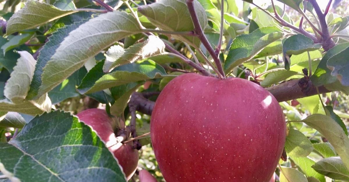Китайское яблоко картинки