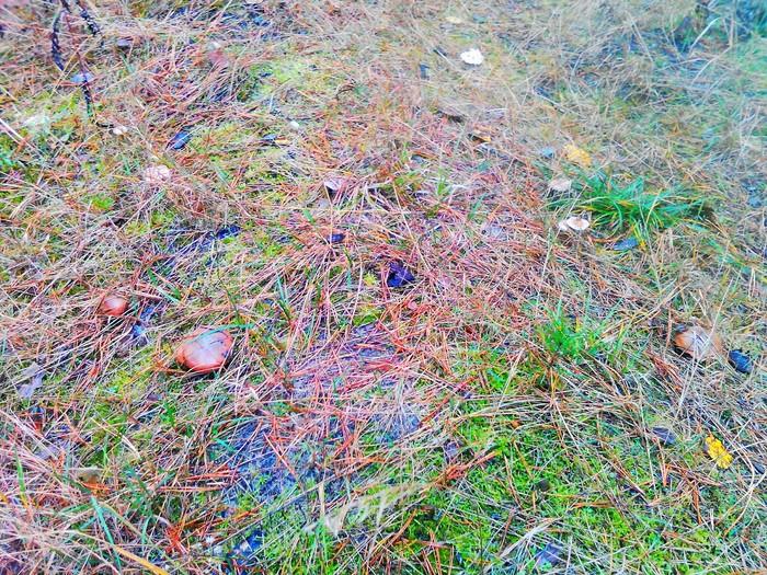 У нас пошли грибы! Грибы, Маслята, Вешенка, Лес, Осень, Длиннопост