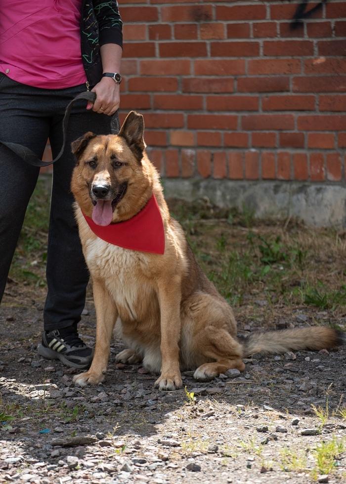 Ищет хозяина статный пес Мухтар Санкт-Петербург, Собака, Овчарка, Длиннопост, В добрые руки, Без рейтинга, Ищет дом