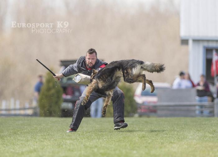 IPO и реальная защита Служебные собаки, Дрессировка, IPO, Фигурант, Служебная дрессировка