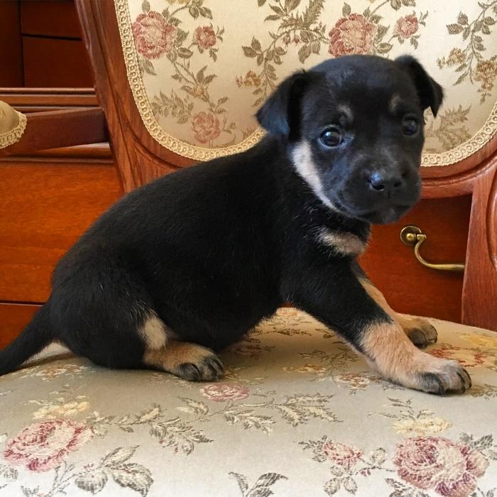 Это Чапа и она ищет дом Москва, Собака, В добрые руки, Без рейтинга, Помощь животным, Щенки, Дворняга, Длиннопост