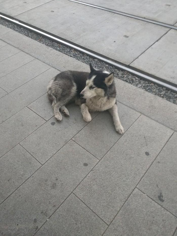 Найдена собака хаски Хаски, Собака, Потеряшка, Без рейтинга, Москва, Найдена собака, Длиннопост