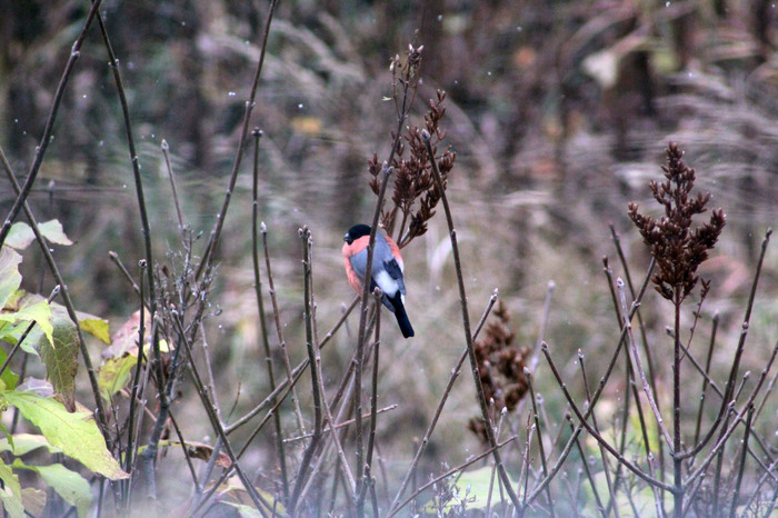 Дубонос Птицы, Снегири, Дубонос, Фотография