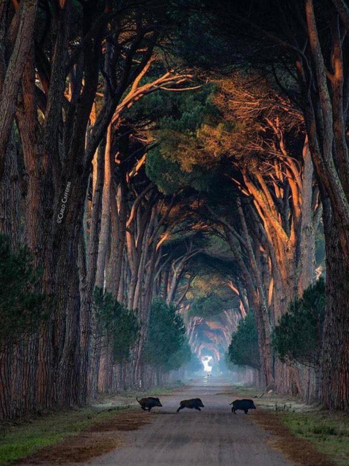 Туннель из деревьев, Италия