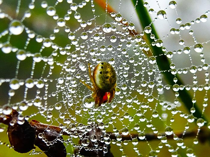 В мире микромира: Мои наблюдения за паучками. Макросъемка, Паук, Паутина, Роса, Приморский край, Длиннопост