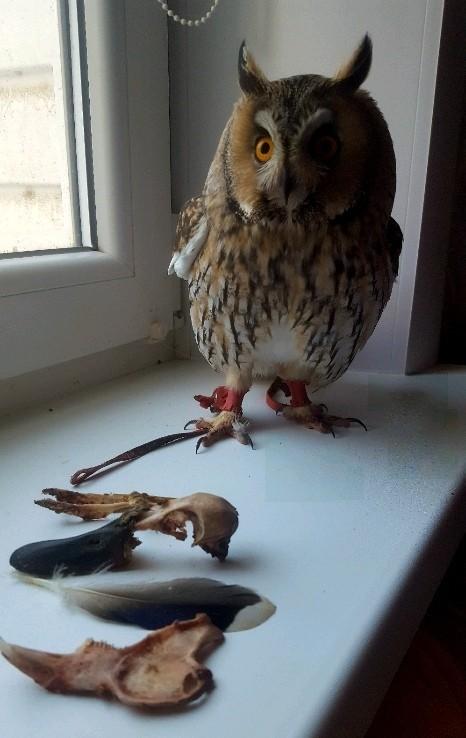 Археологические раскопки в комнате совы Сова, Крипота, Череп, Хищные птицы, Длиннопост, Керби