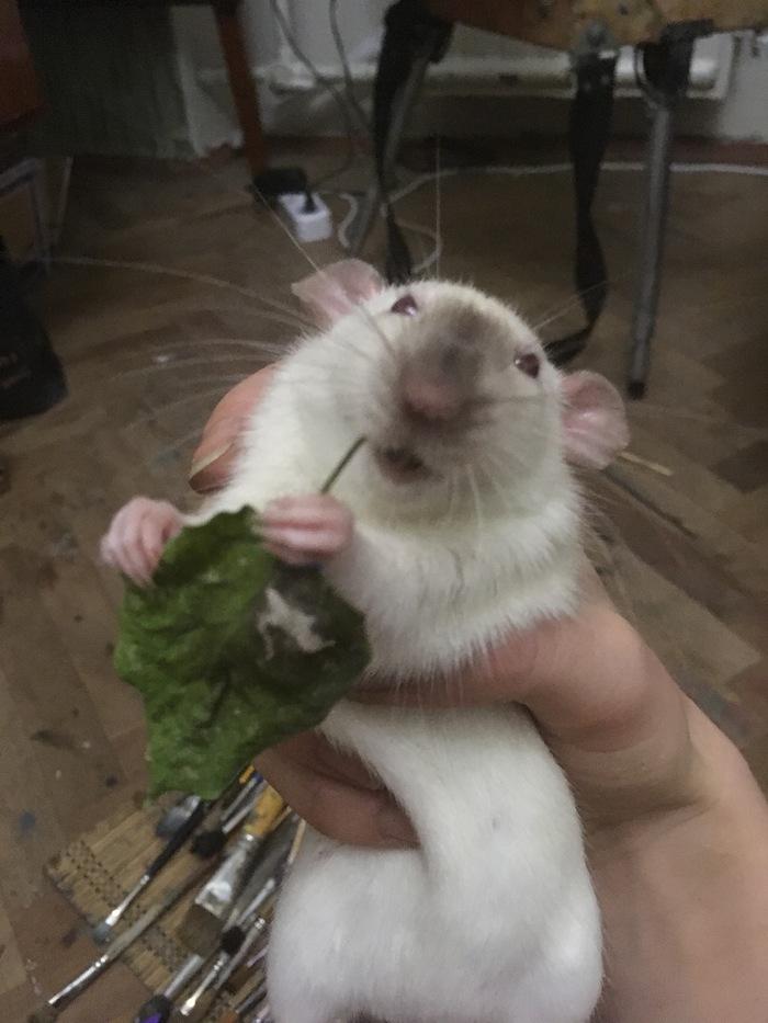 Что нужно ребёнку для счастья Декоративные крысы, Осенние листья, Домашние животные, Длиннопост, Крыса