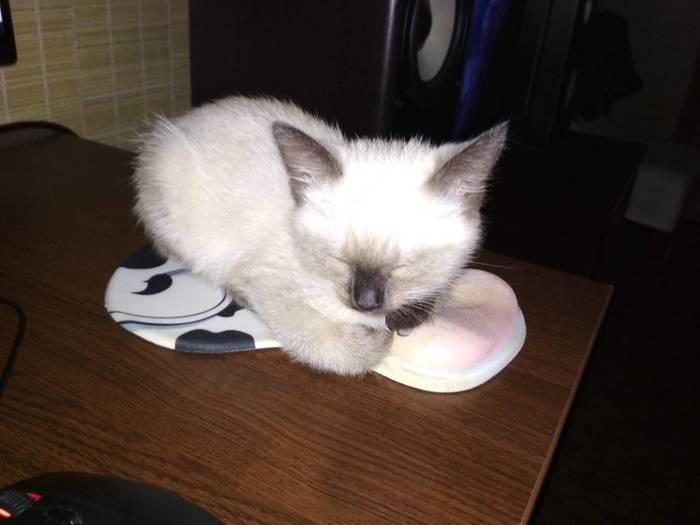 Я её нашел! Тайская кошка, Сибирский кот, Длиннопост, Кот