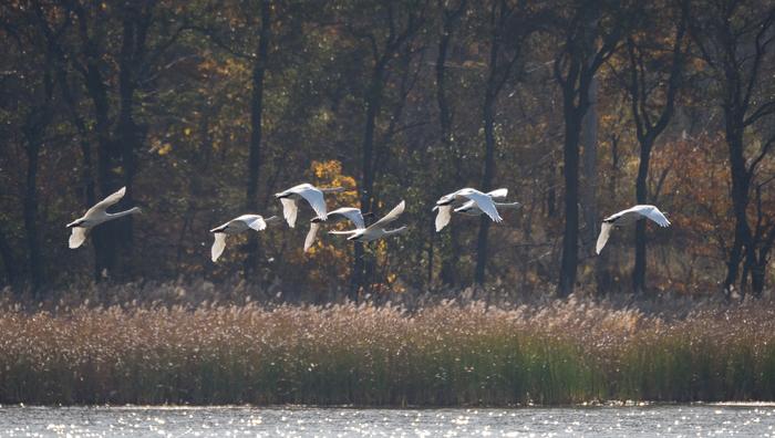 Прилетели лебеди Лебеди, Скопа, Лазоревка, Баклан, Фотоохота, Птицы, Лебедь-Кликун, Находка, Длиннопост