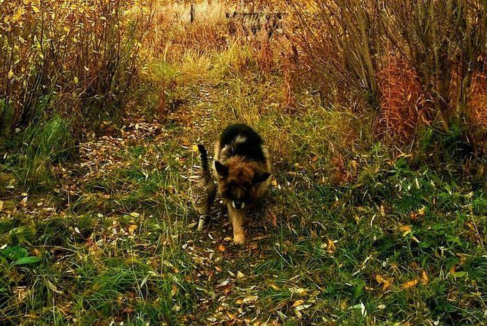 Старая овчарка взяла под защиту бездомного котика. Кот, Котомафия, Собака, Дружба, Длиннопост