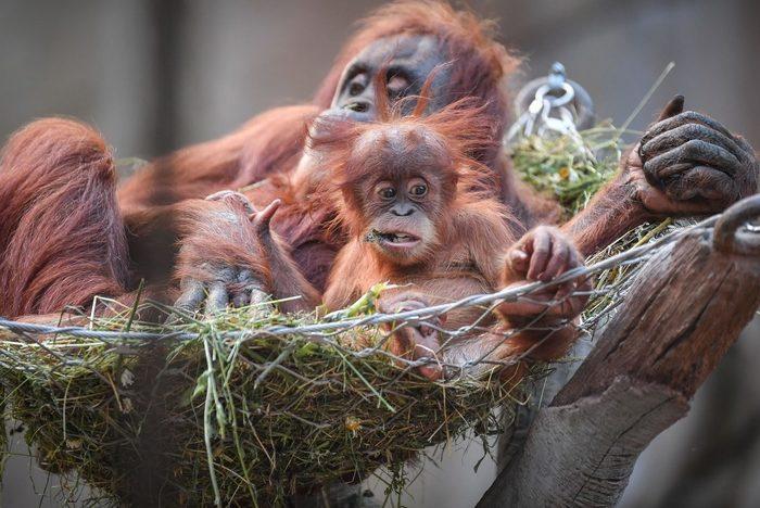 Суматранский орангутан | Животные в зоопарке Животные, Зоопарк, Дикий Край, Интересное, Приматы, Красная книга, Экзотические животные