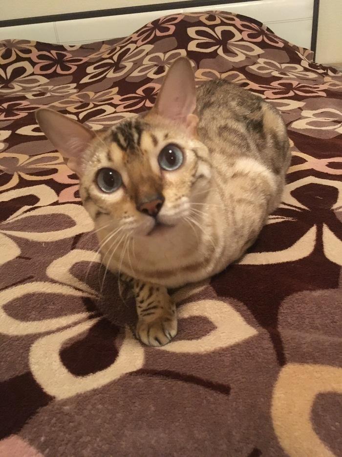 Снежный Кот Кот, Бенгальская кошка, Длиннопост