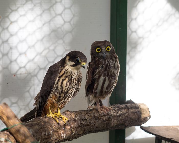 Две упоротые птички Штыковскиепруды, Чеглок, Иглоногая сова, Упоротость