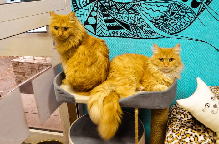 Восемь котиков на балконе Кот, Котокафе, Красноярск