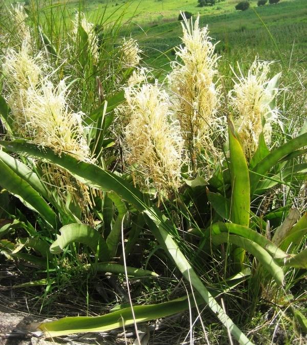Сансевиерия домашняя - уход, фото, размножение, описание Комнатные растения, Сансевиерия, Домашние цветы, Длиннопост