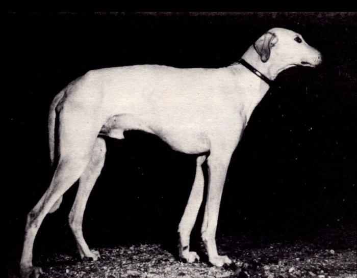 О породах собак №65. Слюги. Собака, Породы собак, Слюги, Борзая, Видео, Длиннопост