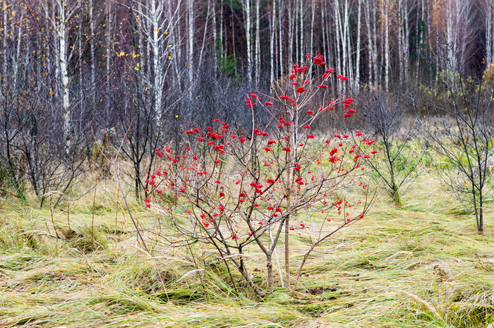 Калина красная Калина, Осень, Длиннопост
