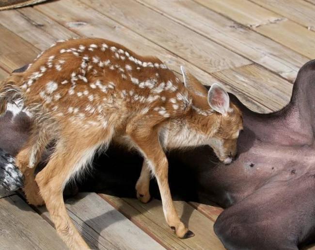 Удивительная дружба в мире животных.Кейт и Пипин. Животные, Необычное, Длиннопост, Собака, Олень, Дружба, Картинки, Видео