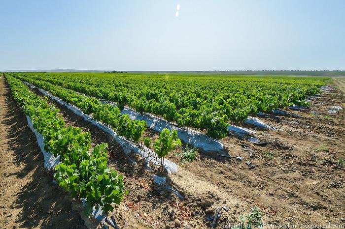 Как делают вино.Часть 1 - выращивание и сбор. Вино, Виноград, Длиннопост, Сельское хозяйство, Виноградник