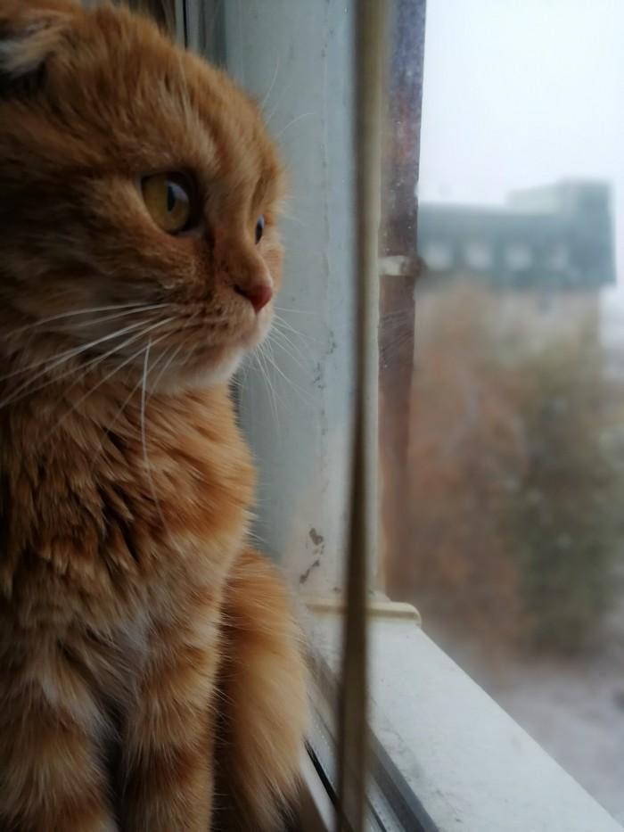 Снег. Самара. Добрый день Шотландская вислоухая, Кот, Длиннопост