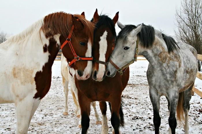 Немного о лошадях и фотографии. Лошади, Фотография, Лама, Рыцарь, Длиннопост