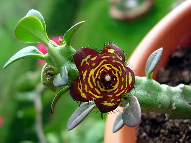 Караллума - фото, размножение, содержание, описание Караллума, Комнатные растения, Домашние цветы, Длиннопост