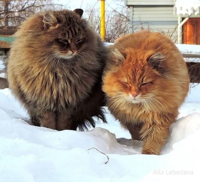 Сибирские пушистые мордочки