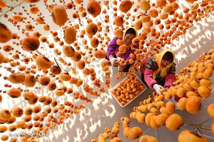 Сбор урожая хурмы в Китае. Китай, Сельское хозяйство, Хурма, Длиннопост
