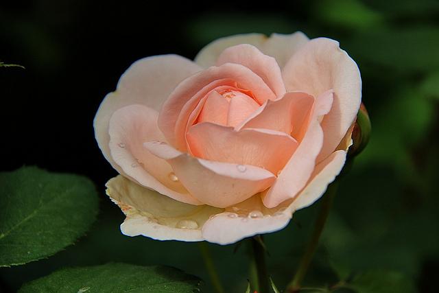 Нежность Роза, Комнатные растения, Домашние цветы, Длиннопост