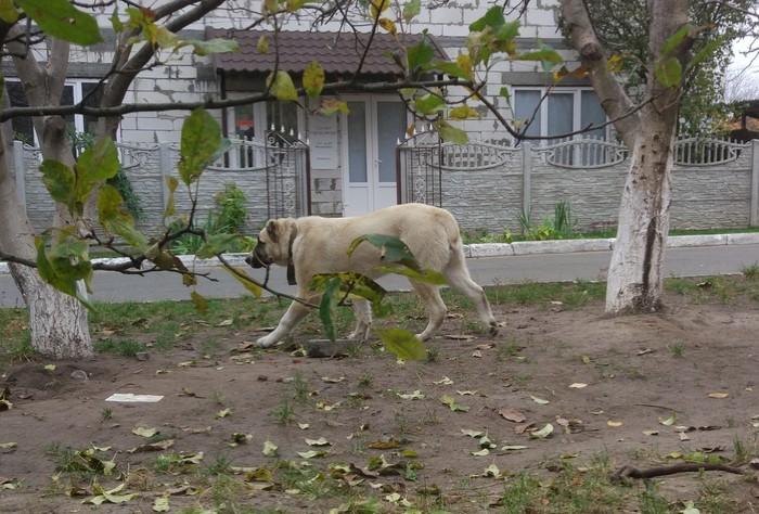 Потеряшка алабай Потеряшка, Животные, Домашние животные, Без рейтинга, Алабай, Киев
