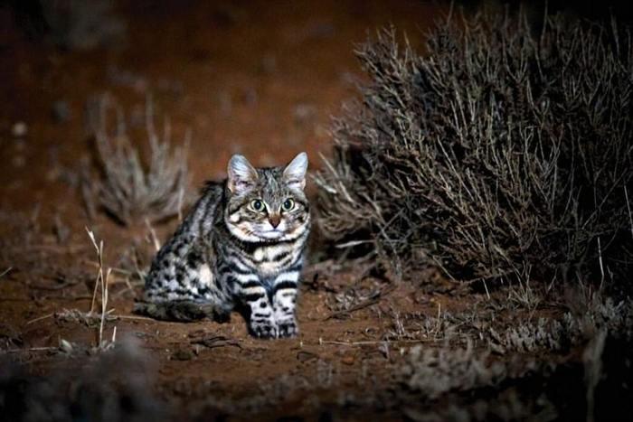 Учёные назвали самую смертоносную кошку Ученые, Кот, Смертность