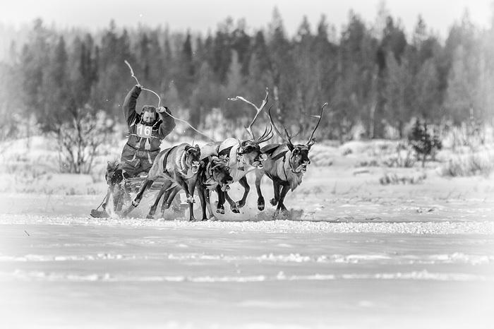 День оленевода Кольский полуостров, Северный олень День оленев, Длиннопост