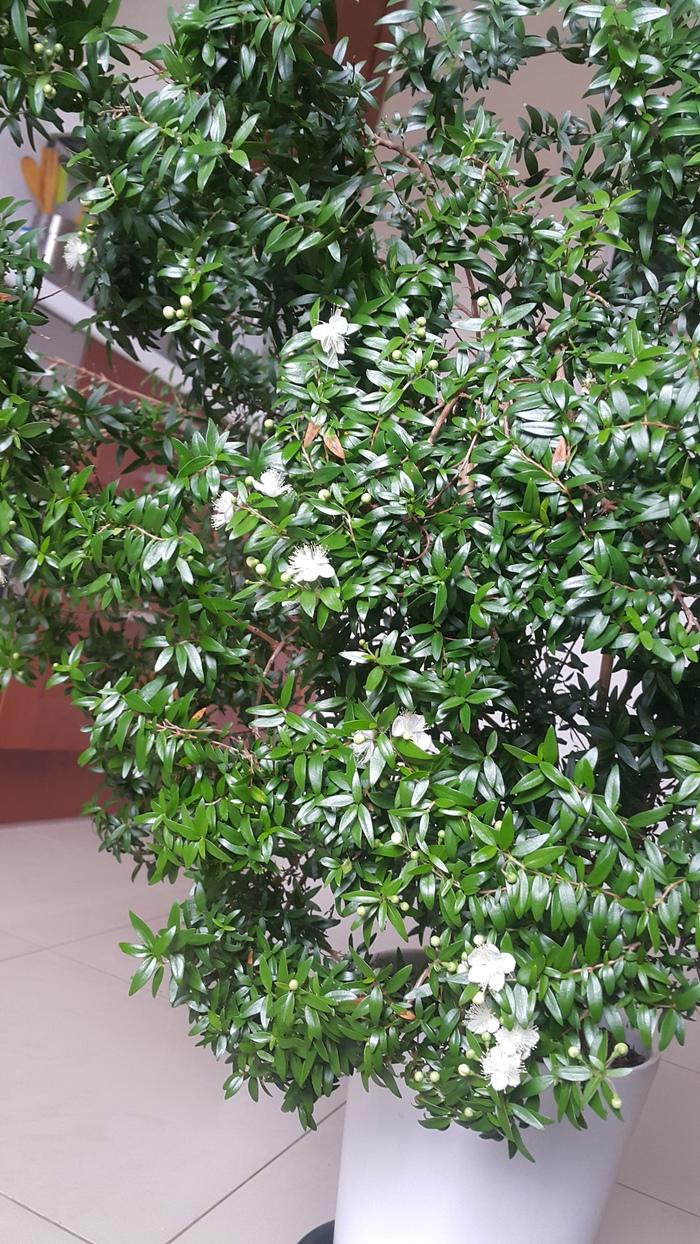 Мирт Комнатные растения, Мирт, Растения, Длиннопост